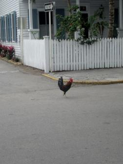 Roosters in Key West