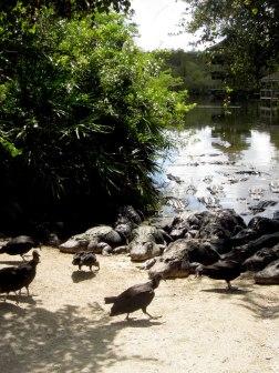 Hungry gators...dumb birds
