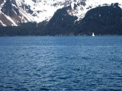 Do you see the otter just chilling? Seward Kenai Fjords Wildlife Cruise