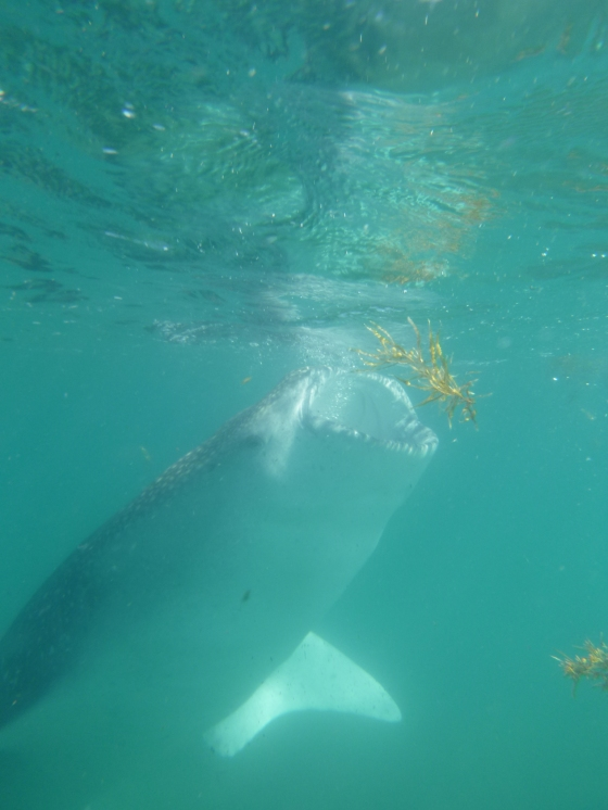 whaleshark23