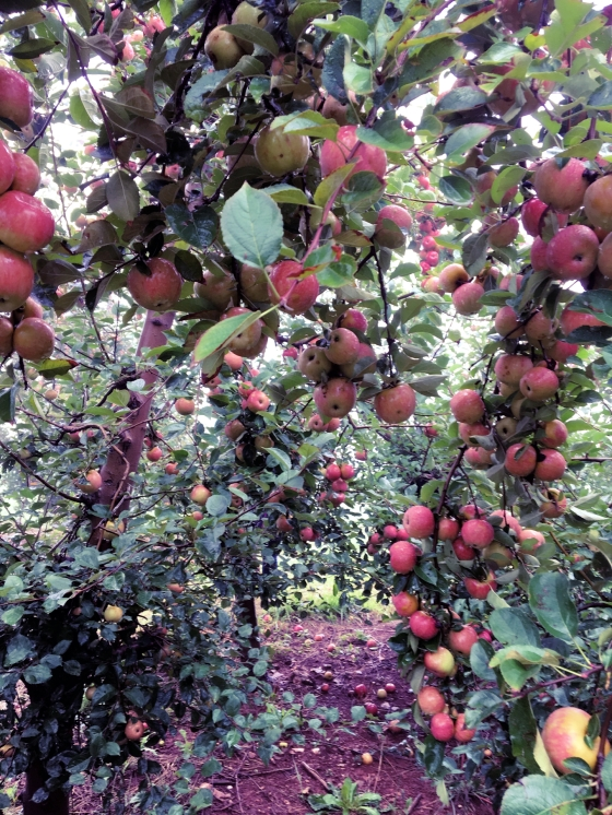 Apple picking at Carter Mountain Orchard